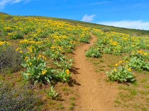 Lewis Butte Winthrop Washington Spring Balsamroot